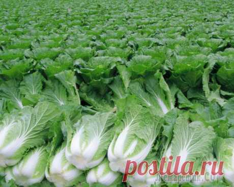 The best grades of the Beijing cabbage for the Russian climate