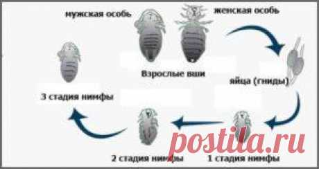 Как быстро размножаются вши: жизненный цикл