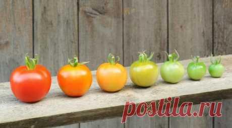 Как ускорить созревание зеленых томатов