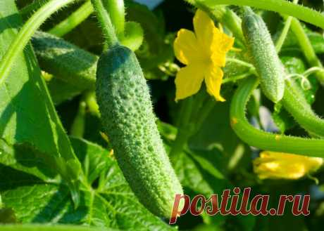 Опрыскиваю растения настоем из дрожжей, и мои помидоры и огурцы ничем не болеют!