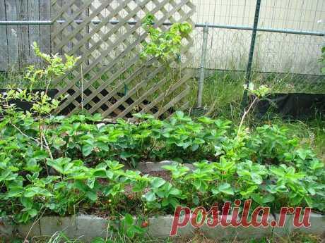 Обустраиваем грядки для клубники Клубника или садовая земляника – любимое лакомство детей и взрослых, сочная и питательная ягода, которая растет практически в каждом садовом хозяйстве. Но, в то же время эта культура и очень привередл...