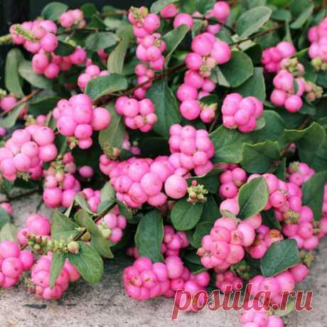 Купить Снежноягодник Розовый жемчуг — от НПО Сады Росcии с доставкой