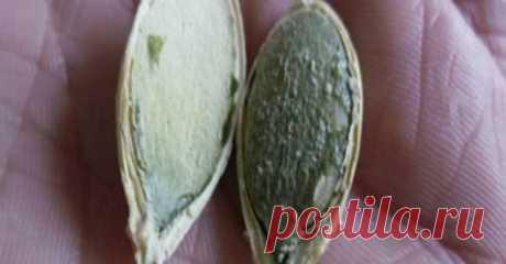 Эти семена уничтожают рак, улучшают зрение и заставляют вас быстро уснуть    Добавьте в рацион!           Семена тыквы— одна из продуктов, наиболее ценимых Всемирной организацией здравоохранения. Эта организация рекомендует потребление семян тыквы, чтобы воспользоваться п…