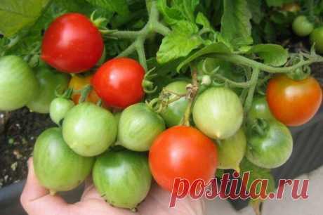 Отличные голландские гибриды томатов для обильного урожая     Голландские гибриды томатов прославились своей высокой урожайностью и устойчивостью к болезням. Конечно по вкусовым качествам они немного уступают сортовым помидорам, особенно, если доспевали не н…