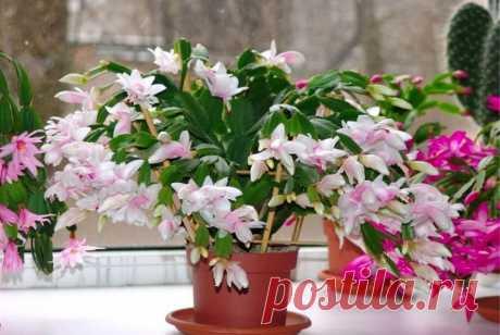 Цветок декабрист: как ухаживать в домашних условиях за шлюмбергерой