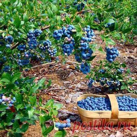 ГОЛУБИКА САДОВАЯ   достаточно крупный кустарник (высота 1-2м)  плоды крупные диаметром 1-2см, урожай с куста - до 10 кг.  Ягода сладкая или кисло-сладкая, очень полезная. По урожайности, размеру ягод и вкусовым характеристикам голубика садовая намного превосходит свою лесную родственницу  начинает плодоносить на 4-5 год  долгожитель. Способна давать урожай несколько десятков лет  отличная морозостойкость. В диком виде растет в тундре и европейских лесах Северного полушария...
