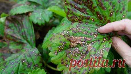 Смесь, которая поможет от болезни растений  Такой раствор поможет от ржавчины, пятнистости и мучнистой росы. Для этого нужно смешать 1 столовую ложку соды, 1 чайную ложку мягкого средства для мытья посуды, 1 столовую ложку растительного масла, 1 таблетку растворенного аспирина, 4,5 литра воды.  Опрыскиваем зелень пульверизатором.