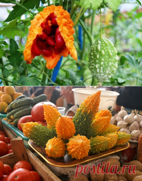 Выращивание момордики