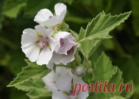 Будь здоров, не кашляй! 10 лекарственных растений от кашля с дачного участка | Полезно (Огород.ru)