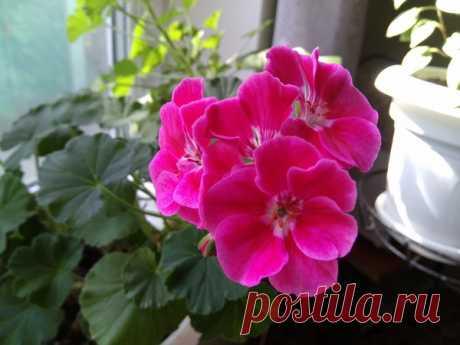 Не цветет герань? 9 советов по уходу за цветком от опытного цветовода.