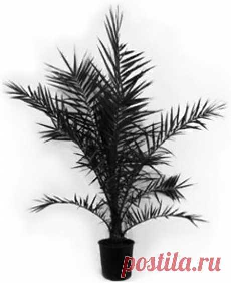Финиковая пальма в домашних условиях - уход, проблемы, размножение