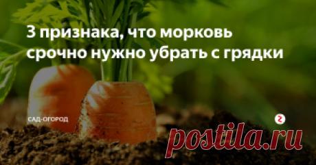 3 признака, что морковь срочно нужно убрать с грядки Вовремя собранная морковь более сладкая и гораздо лучше храниться зимой...