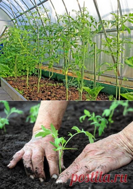 11 ошибок при выращивании томатов | На грядке (Огород.ru)