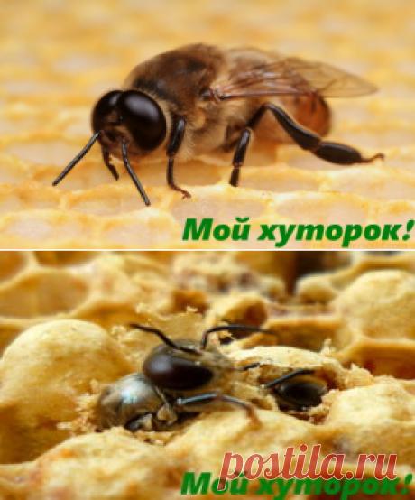Трутень в пчелиной семье. - Мой хуторок!