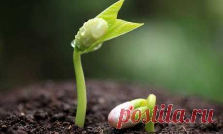 Правила посадки фасоли в открытый грунт семенами и рассадой, уход