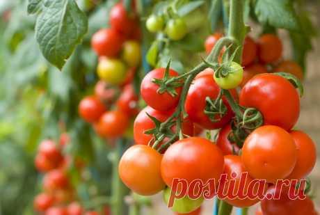 Как получить хороший урожай помидоров - 5 ошибок огородников » Женский Мир
