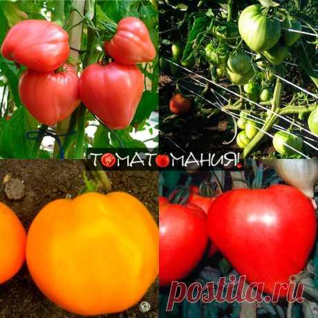 ТОМАТЫ БЫЧЬЕ СЕРДЦЕ ВЫРАЩИВАНИЕ - Томаты (помидоры) | Вайя и Майя