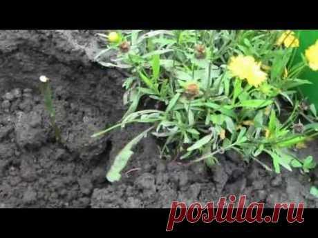 ▶ Как посадить розы из БУКЕТА черенками - YouTube