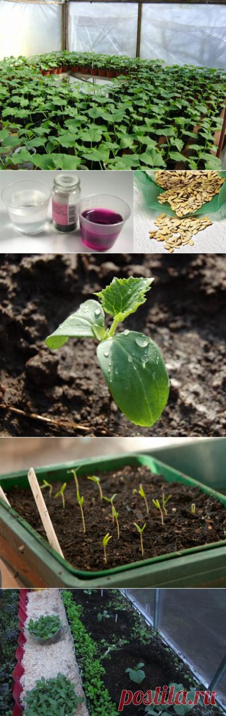 Когда сажать огурцы на рассаду в 2017 году для теплицы