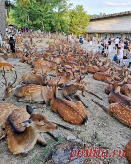 В японском городе Нара олени продолжают гулять по улицам . Тут забавно !!!