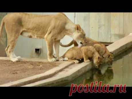 Львята просто хотели попить, но то, что сделала львица, рассмешило всех посетителей зоопарка     Двух львят замучила жажда и они решили попить воды. Тогда к ним подошла мама-львица и начала облизывать одного из них. Но, того, что произошло затем, не ожидал никто, особенно один из малышей: мам…