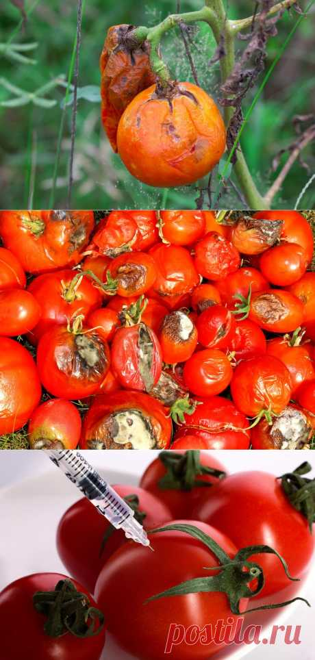 """National methods of fight with fitoftorozy tomatoes.\u000d\u000a\u000d\u000aTo the middle of summer the phytophthora hid, and our tomatoes grow and get prettier on pleasure to eyes and heart. But it is impossible to relax at all — seldom what site will bypass this artful fungus \""""by itself\""""."""