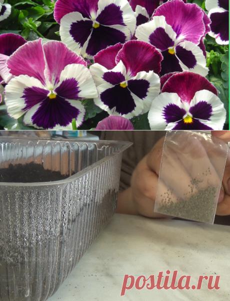 Пора сеять двулетние цветы!🌺 | Марина Мэй | Яндекс Дзен