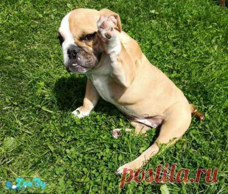 Продается щенок Английского бульдога, девочка купить в Минске на сайте объявлений