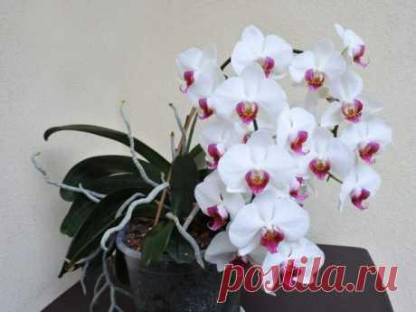 Що потрібно зробити з квітконосом орхідеї після цвітіння, щоб наступне настало скоріше – Вакурат