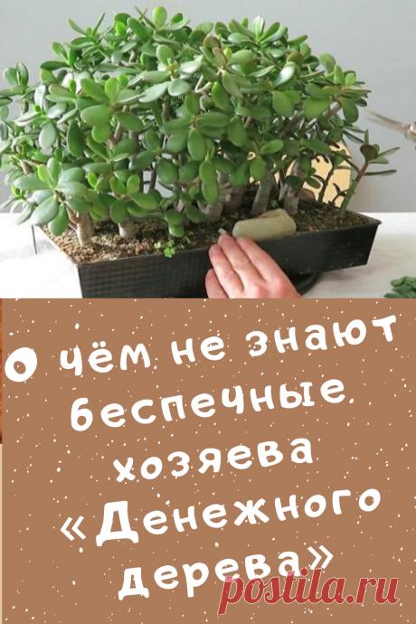 О чём не знают беспечные хозяева «Денежного дерева»