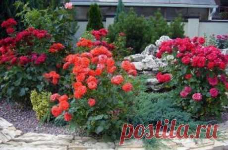 Размножение роз черенками, отводками: описание лучших способов