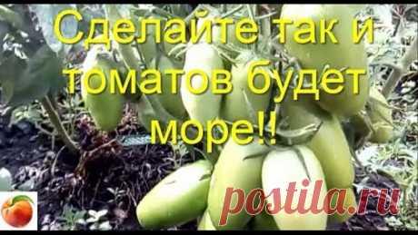Сделайте так и вырастет много томатов Рассада не вытянется Tomato  Урожай вырастет в разы Всем хорошего урожая! Томатов нарастет еще больше, если Вы вырастите высокорослые сорта томатов по моей подсказке - переведя стебель - в питающий корень! Попробуйте так  и Ваша #РассадаТоматов# станет крепкой и очень мощной - сильная корневая система буквально заставит томат очень обильно плодоносить, завалит Вас помидорами - проверено лично #СибирскийСад#  #УрожайТоматовУвеличивается...