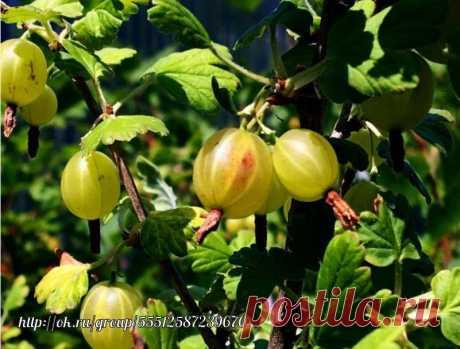 Полезные моменты в выращивании крыжовника Если этой ягоде создать благоприятные условия, то она может давать плоды в течение 20 лет. Хотя есть некоторые экземпляры, которые плодоносят и больше этого срока. При этом естественно необходимо уделять много внимание кустам плодовитого крыжовника.  Выбор места для выращивания крыжовника  Крыжовник, как и многие ягодные культуры, требователен к освещенности участка. На затененных территориях получить хороший урожай не получится, ягоды мельчают, а их