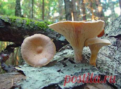 Пилолистник бокаловидный – гриб с приятным грибным ароматом
