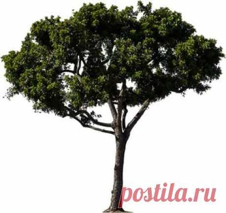 деревья в PNG: 5 тыс изображений найдено в Яндекс.Картинках