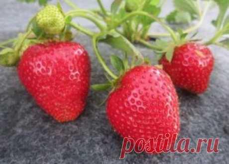 Сорт клубники Альбион, описание, выращивание, правильный уход за ягодой