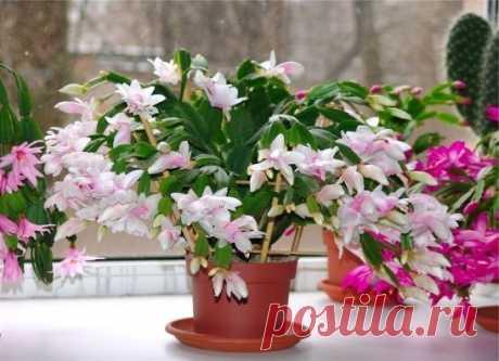 """ХОТИТЕ РОСКОШНЫЙ ЦВЕТНИК В КВАРТИРЕ? ТОГДА ЗАПОМИНАЙТЕ СЕКРЕТИКИ Секрет роскошного комнатного цветника прост: растения нужно хорошо подкармливать, иначе не дождаться ни пышной листвы, ни хорошего цветения. Жесткая """"диета"""", когда растение длительное время испытывает нехватку питательных веществ, обычно приводит к заболеванию – ведь сил для сопротивления у растения нет. Но как правильно составить меню для зеленых питомцев, учитывая их разные вкусы? 1. Практически все растения любят сахар (а какт"""