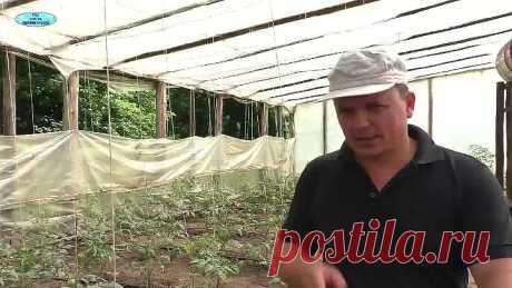 ¿Que sobrealimentar los tomates en 10 días? La primera fertilización, muy importante.