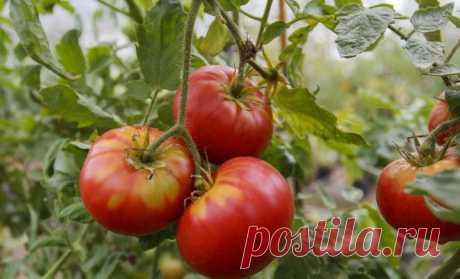 Календарь обработки томатов от болезней и вредителей | На грядке (Огород.ru)