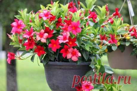 Все комнатные растения с красными цветами Домашние растения с красными цветами – заметный элемент декора, символ страсти в спальне, яркое, поднимающее настроение пятно в детской комнате. Не просто разобраться во всем многообразии домашних цветов с красными цветами, к тому же многие известны под несколькими именами.