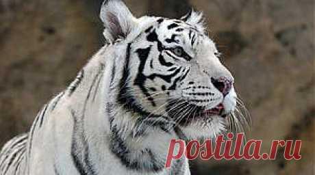 Фен-шуй талисман: Белый тигр | Гороскоп