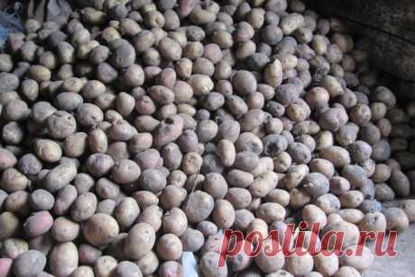 Какую картошку отобрать на семена, и как ее сохранить