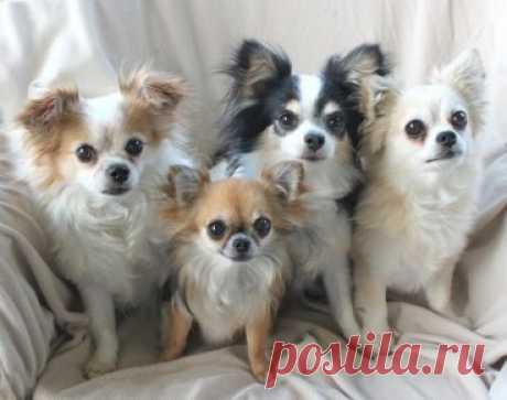 Породы собак, с которыми можно не гулять — список питомцев, не требующих выгула