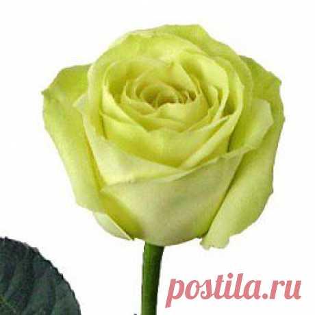Green Tea - Розы зелёные - Розы