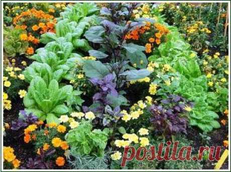 Кабачки совместимость с другими растениями