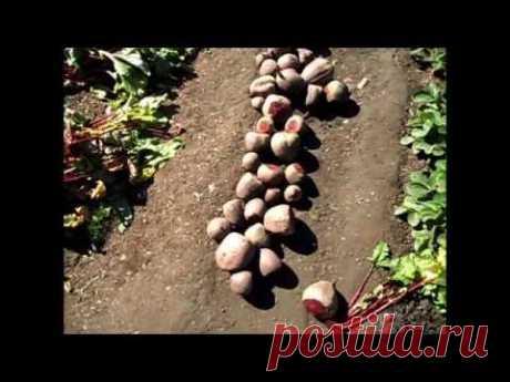 Вкусный Огород: Хранение свеклы Обрезка, подготовка корнеплодов
