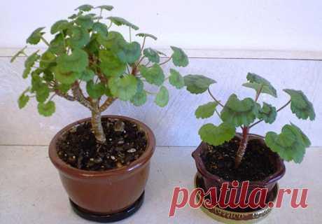 Осенняя обрезка герани (пеларгонии) для пышного цветения | 6 соток