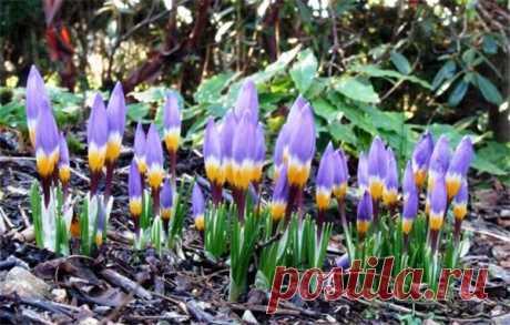 Крокусы: выращиваем луковичные в саду Крокусы: выращиваем луковичные в саду  Ранней весной крокусы первыми открывают свои хрупкие цветочки. Они хорошо выделяются на оголенной земле, привлекая внимание. С их помощью создают яркие полянки, …