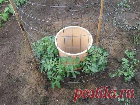 Гениальная идея одного человека по выращиванию помидоров