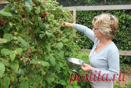 УХОД ЗА ПОСАЖЕННОЙ МАЛИНОЙ  Сохраните, чтобы не потерять!    В первый год для интенсивного использования участка между кустами малины можно посадить ранние овощи: укроп, чеснок, лук на перо, репу, редис, морковь, свеклу для летнего борща, салат или посеять цветы бархатцы, которые потом закопать как зеленое удобрение и профилактическое средство против нематод.  Следующие годы почву содержат под мульчей.  Для уничтожения насекомых, зимующих в почве, пленку рано весной припод...